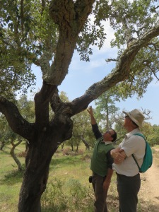 A cork tree stands in the foreground, with more cork trees in the background. The tree has freshly sprouted green leaves. The cork bark has been trimmed over the years to about 8 feet high, so a layer to lighter brownish green bark grows just out of reach. Two men stand to the right of the tree. The trek guide points upward, explaining how the cork is cut. He wears a green shirt with long blue sleeves and a beige collar, and brown pants. Another man stands to his right with his arms crossed looking upward to where the guide is pointing. This man wears a wide brimmed khaki hiking hat, an off-white short sleeved shirt with a collar, a small teal knapsack, and dark green hiking pants.