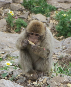 A light brown macaque sits among rocks and yellow flowers eating a peanut.