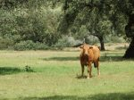 Brown cow standing in field with trees and brush in the background.
